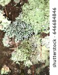 Small photo of Hypogymnia (genus of lichenized fungi within the Parmeliaceae family)