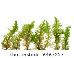 fluffy micro ferns on a white... | Shutterstock . vector #6467257