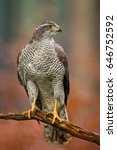 Small photo of Northern Goshawk (Accipiter gentilis) are large hawks and the largest and bulkiest of the accipiters.They have broad,rounded wings and long tails. Can be found in both deciduous and coniferous forests
