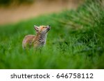 young foxes  vulpes vulpes  | Shutterstock . vector #646758112