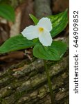 Small photo of White Trillium growing next to a mossy log.