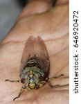 Small photo of Cicadidae on hand