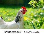 a light sussex hen  free range  ... | Shutterstock . vector #646988632