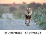 panthera leo vernayi   kalahari ...   Shutterstock . vector #646995685