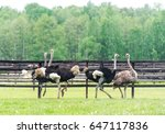 Group Of Ostrich In The Farm.