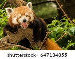 A Sleepy Red Panda Yawning
