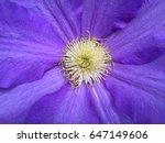 purple clematis flower close up | Shutterstock . vector #647149606