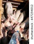 pigs  market  drink water from... | Shutterstock . vector #647254012