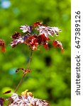 Small photo of Acer rubrum red maple, also known as swamp, water or soft maple, is one of the most common and widespread deciduous trees in eastern and central North America.