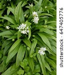 Small photo of Ramson; Allium; ursinum