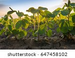 agricultural soy plantation on ... | Shutterstock . vector #647458102