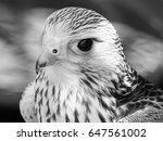 Kestrel Portrait  In Close Up