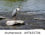 the grey heron ardea cinerea... | Shutterstock . vector #647631736