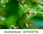 "thai fruit ""carandas plum"" in... | Shutterstock . vector #647653756"