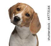 Beagle Puppy  6 Months Old  In...