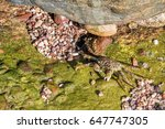 green sea crab eating algae. | Shutterstock . vector #647747305