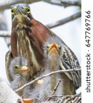 Adult Green Heron With Three...
