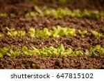 Sprouting Lettuce In The Garden