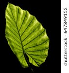 Small photo of Alocasia or elephant ear leaf backlit by sunlight, on black background