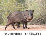 javelina or skunk pigs drinking ... | Shutterstock . vector #647861566