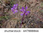 Small photo of This pungent purple flower is the blossom of a wild onion (Allium bisceptrum) in Idaho during the Spring.