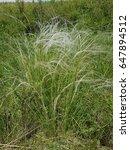 Feather Grass. A Feather Grass...