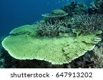 Small photo of Table coral, Acropora hyacinthus, and branching corals, Acropora formasa, Banta Island Indonesia.