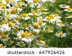 german chamomile herb garden | Shutterstock . vector #647926426
