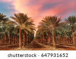 Date Palm Trees Plantation At...