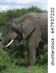 Small photo of African Bush Elephant, Eastern Cape, South Africa