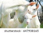 Clouseup Of Three White Goats...