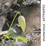 Small photo of Clematis macropetala 'Albina Plena' Growing in a Stumpery Garden within The Lake District National Park in Rural Cumbria, England, UK