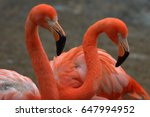 Two American Flamingos On The...