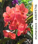 Small photo of red vanda orchid in Thailand