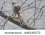 Small photo of Immature Sharp Shinned Hawk (Accipiter striatus)