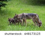 Coyote And Wolf Pups Playing...