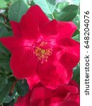 Small photo of Red rose bush flowering