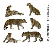 Trained  Tamed Leopards...