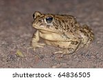 Small photo of Endangered Species Amargosa toad Bufo nelsoni in Ash Meadows National Wildlife Reserve, Nevada