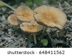 Small photo of Almond-Scented Russula