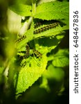 Small photo of Caterpillar (Nymphalis urticae Aglais urticae) eating on a nettle