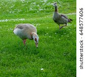 Small photo of Egyptian Geese (alopochen aegyptiacus) Wandering through the Grass