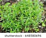 winter savory herb  satureja... | Shutterstock . vector #648580696