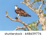 Osprey On Branch With Fish In...