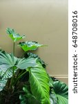 Small photo of green alocasia leaves with peeling paint wall as a background.
