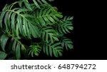 Green Leaves Of Monstera Plant...