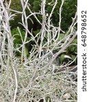Small photo of Botanical name: Calocephalus Common names: 'Silver Bush' 'Cushion Bush'