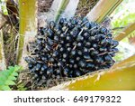 black oil palm fruits on the... | Shutterstock . vector #649179322