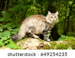 Siberian Cats And Kittens In...