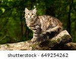 Siberian Cat Kitten In Wood....